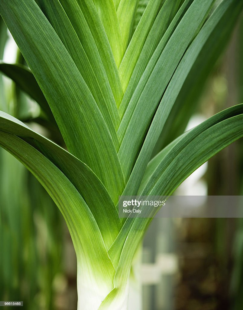 A portrait of a leek : Stock Photo
