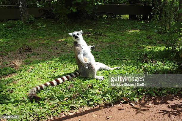 Portrait Of A Lemur On Plants