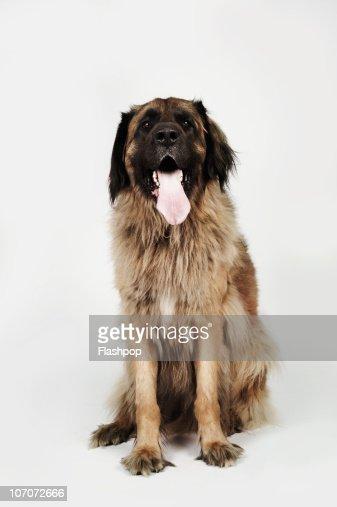 Portrait of a Leonberger dog