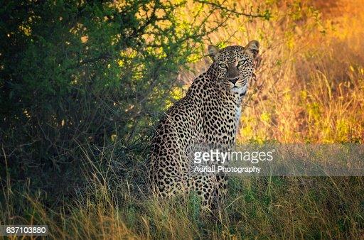 Portrait of a leopard, Panthera pardus