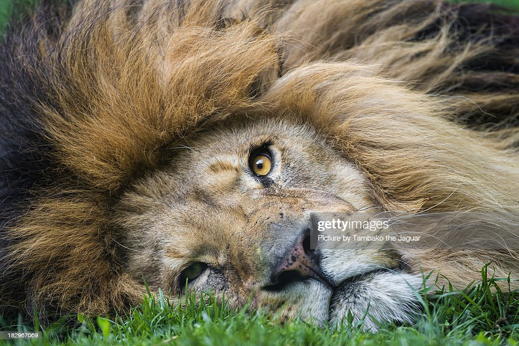 Portrait of a lion lying flat on the ground : Stock Photo