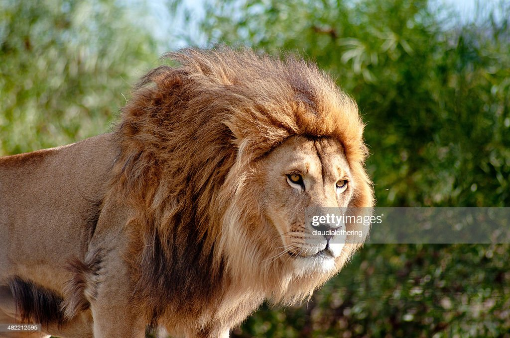 South Africa, Mpumalanga, Close-up of lion