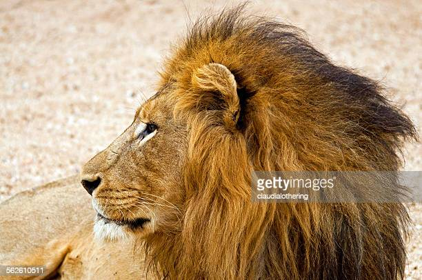 Portrait of a lion, South Africa