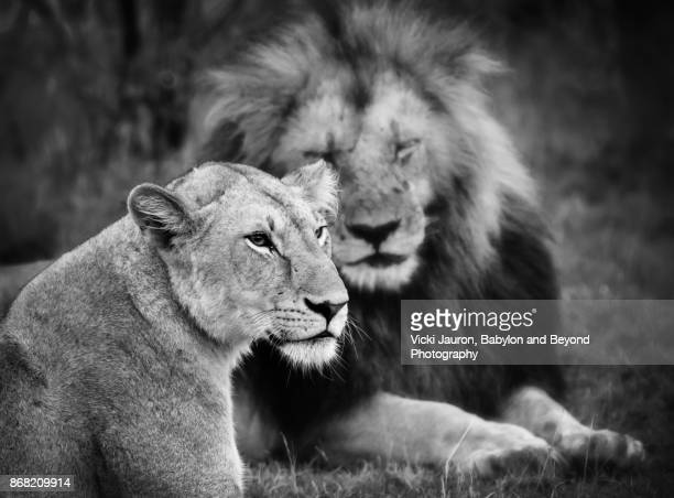 Portrait of a Lioness Against Male Lion in Background
