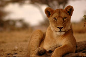 A young female lion (lioness) facing camera