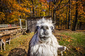 Canada, Quebec, Mont-Saint-Hilaire, Llama looking at camera