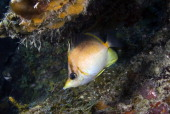 Portrait of a longsnout butterflyfish Chaetodon aculeatus Director's Bay Curacao Netherlands Antilles
