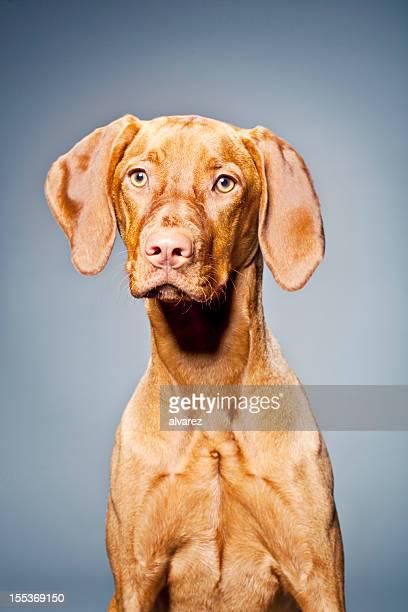 Portrait d'un chien Magyar Braque hongrois