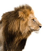 Big male lion isolated on white.