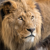 A portrait of a male lion (Panthera leo) in a zoo