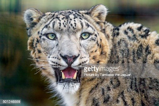 Portrait of a male snow leopard