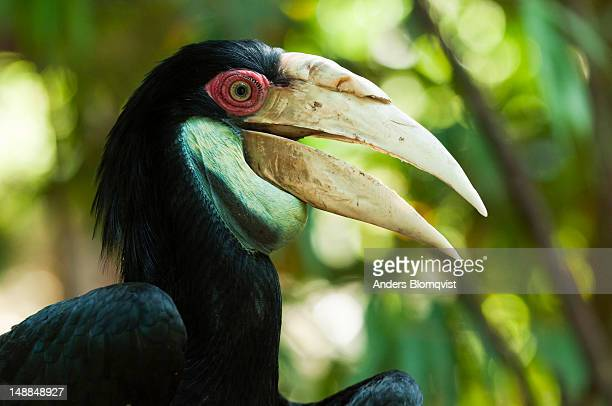 Portrait of a male Wread Hornbill (Rhyticeros undulatus) at Lok Kawi Wildlife Park.