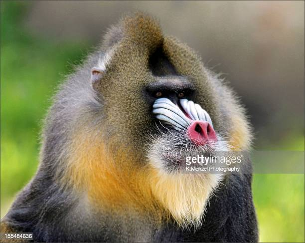 Portrait of a Mandrill with beady little eyes!