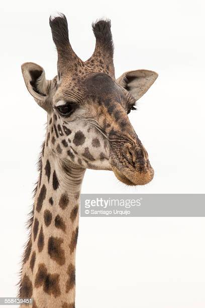 Portrait of a Masai giraffe