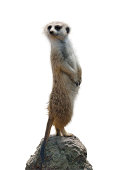 Meerkat Isolated On White Background