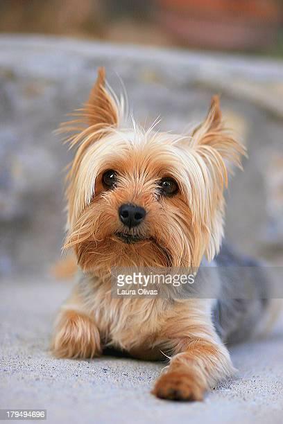 Portrait of a Miniature Yorkie Terrier