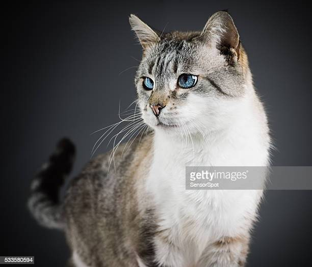 Portrait of a mixed breed cat with blue eyes.