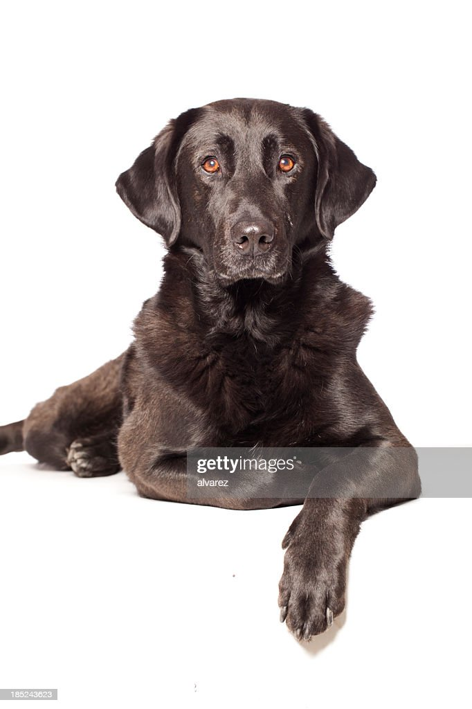 Portrait of a mixed breed labrador