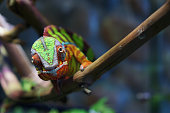 Portrait of a panther chameleon of beautiful color, Madagascar