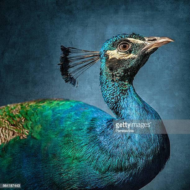 Portrait of a peacock bird