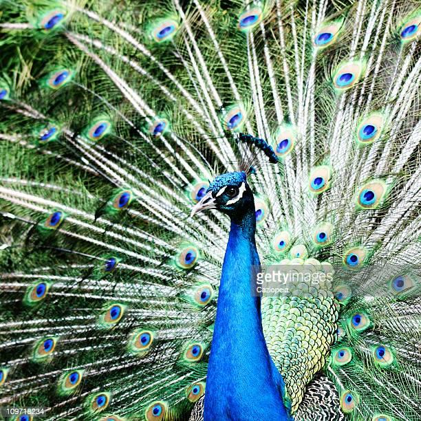 Retrato de Peacock