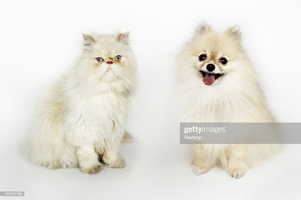 Portrait of a Persian cat and a Pomeranian dog