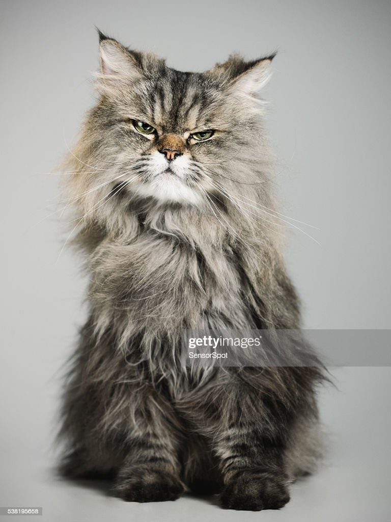 Portrait A Persian Cat Stock
