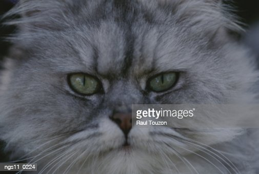 A portrait of a Persian cat. : Stock Photo
