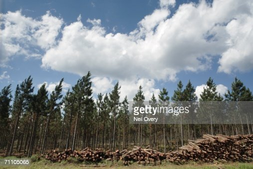 Portrait of a Pine Tree Plantation with Pine Logs Stacked in the Foreground