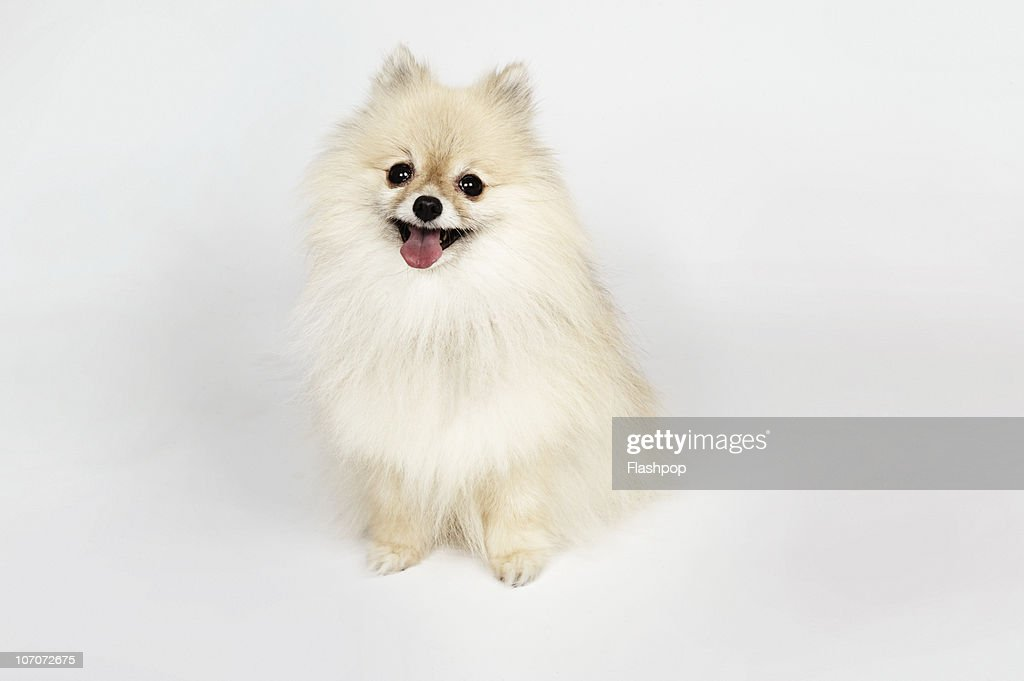 Portrait of a Pomeranian dog