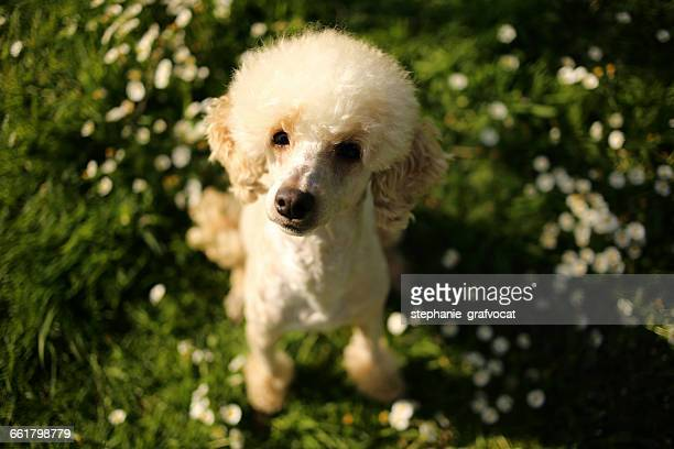 Portrait of a poodle dog sitting on grass