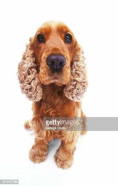 portrait of a poodle