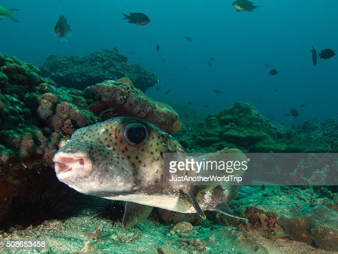 portrait of a porcupine fish : Stock Photo