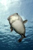 Portrait of a porcupinefish Curacao Netherlands Antilles