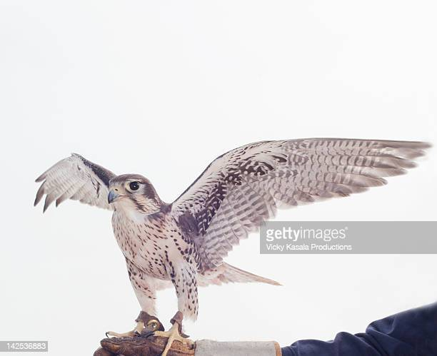 Portrait of a prairie falcon ready to fly.