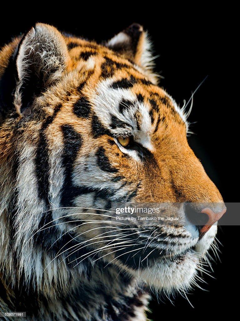 Portrait of a pretty Siberian tiger