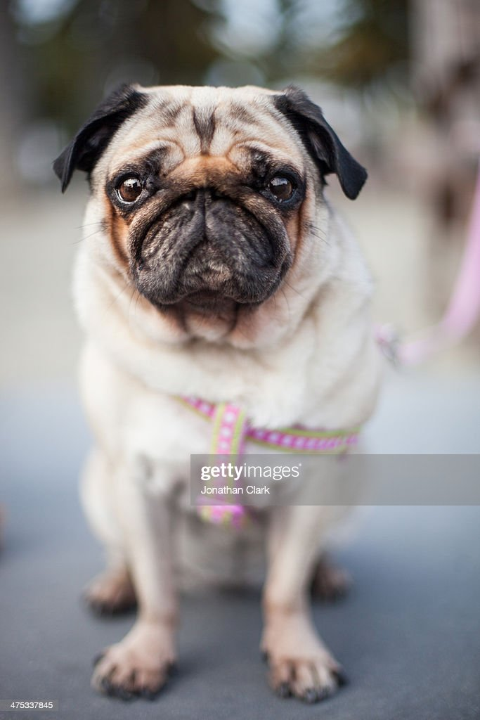 portrait of a pug dog : Stock Photo