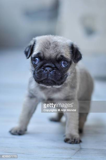 Portrait of a Pug Puppy looking at the Camera