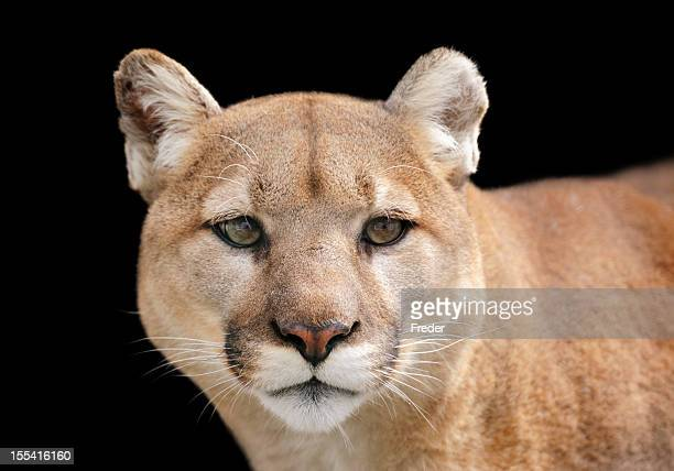 Portrait of a puma looking beyond the camera