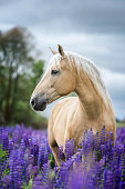 Horse posing among blooming lupine flowers.