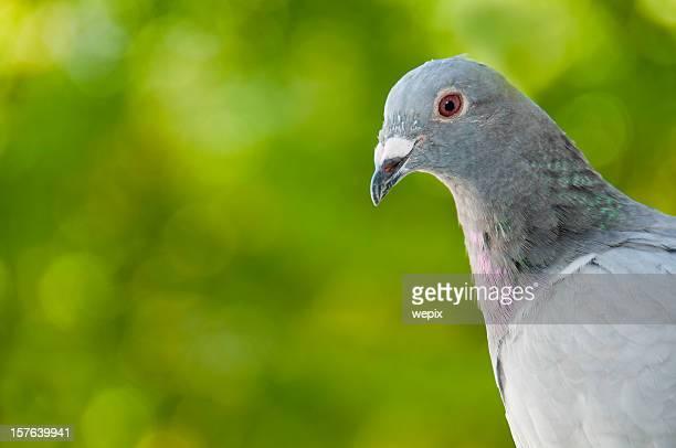 Portrait d'un pigeon de course, flou fond vert