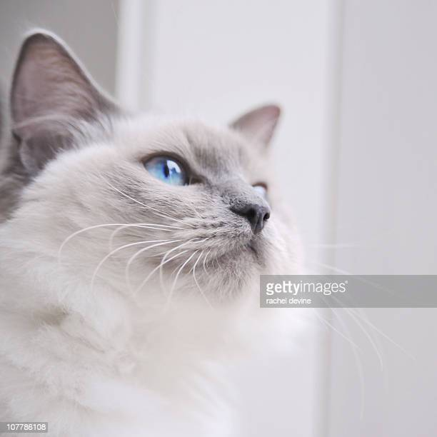 Portrait of a ragdoll cat