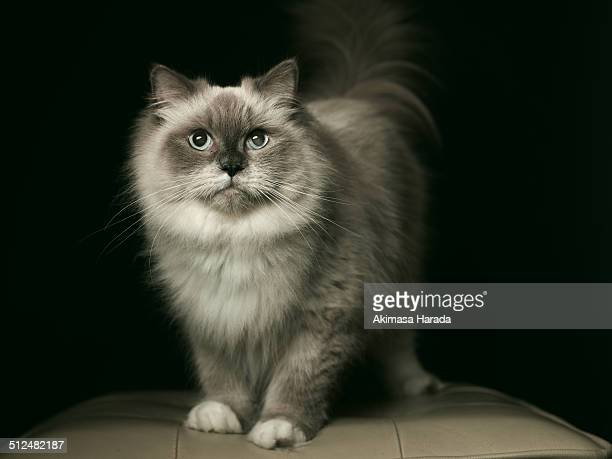 Portrait of a Ragdoll cat