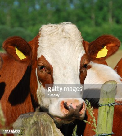 Portrait of a red Holstein mottled cow head.