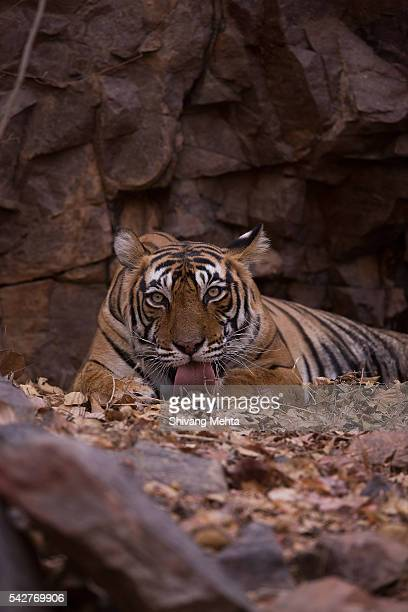 Portrait of a Royal Bengal Tiger - Vertical