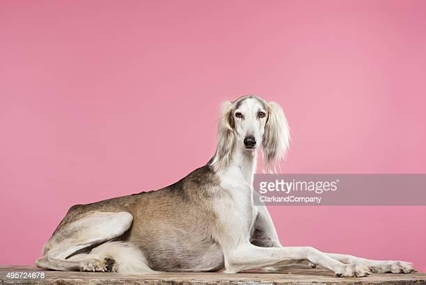 Portrait of a Saluki Arabian Hound