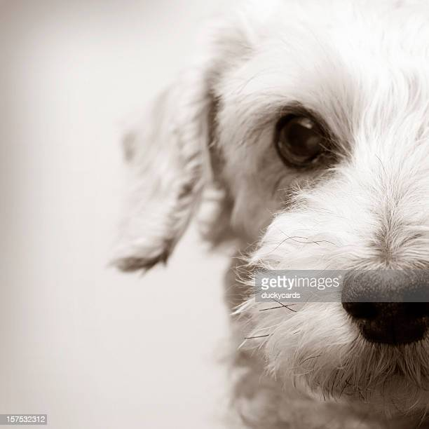 Portrait of a Schnoodle