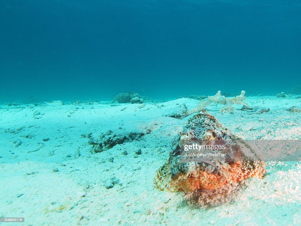 portrait of a scorpion fish : Stock Photo