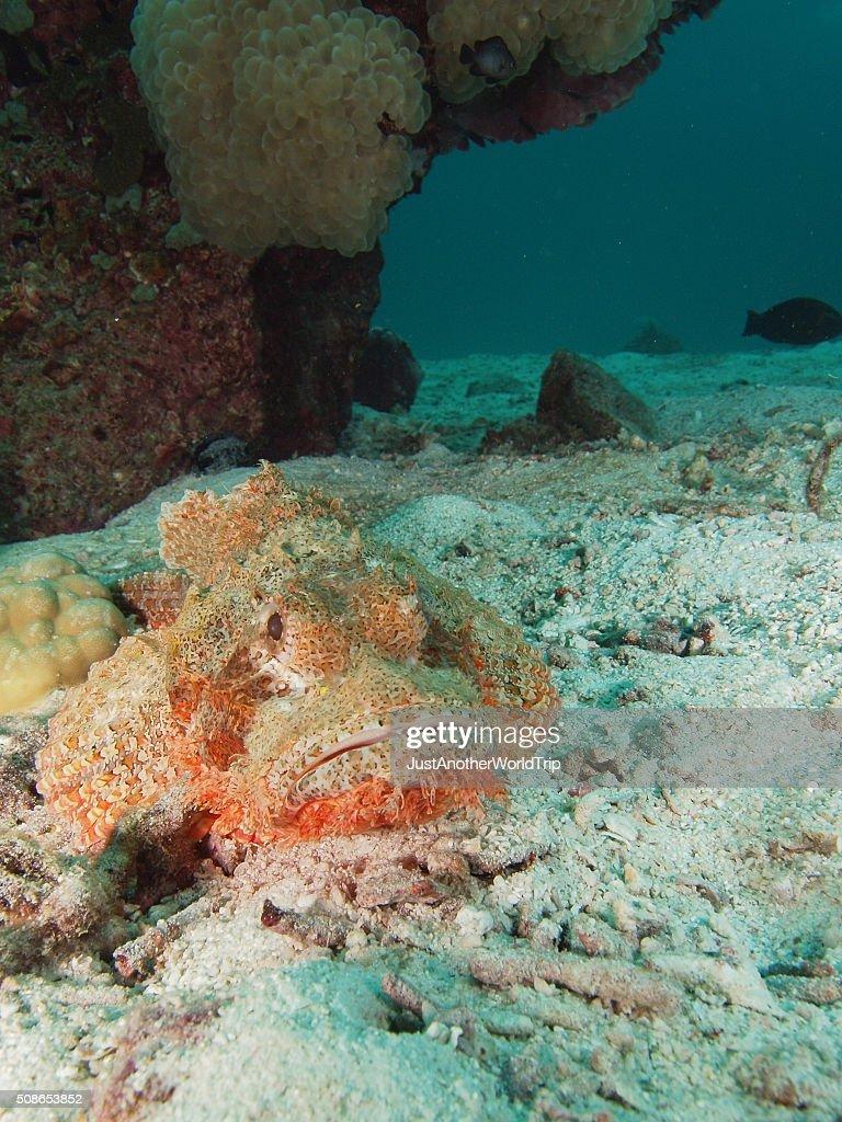 portrait of a scorpionfish : Stock Photo