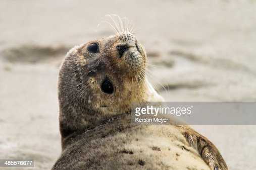 harbour seal stock photos and pictures getty images. Black Bedroom Furniture Sets. Home Design Ideas